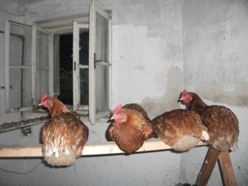 Hisex hnědý a Isa brown red: Naše slepice v kurníku.